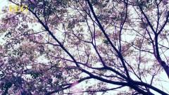桐花 / Đồng Hoa - Chung Hân Đồng