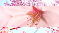 Cherry Blossom - BGM4